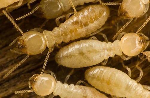 termitas-subterraneas